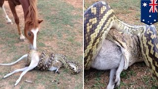 Video Python snake attack: Horse watches large python swallowing wallaby in Australia - TomoNews MP3, 3GP, MP4, WEBM, AVI, FLV Maret 2019