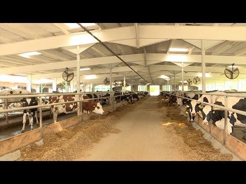 Чехиядагы уй фермасы - DomaVideo.Ru