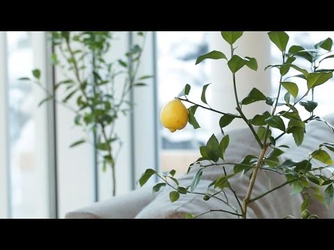 Mutfağınızda nasıl meyve yetiştirirsiniz?