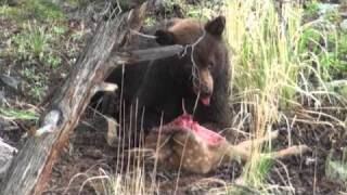 Bear eats elk calf - Yellowstone National Park