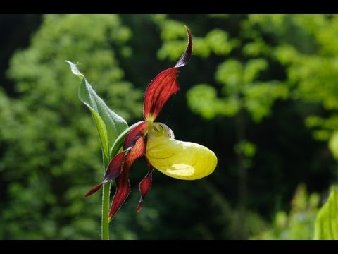 Heimische Orchideen: Der Burgberg im Weser-Bergland - O ...