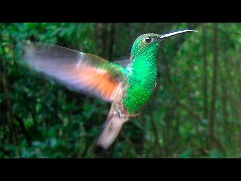 Колибри птичка (Hummingbird) - красивая подборка с музыкой