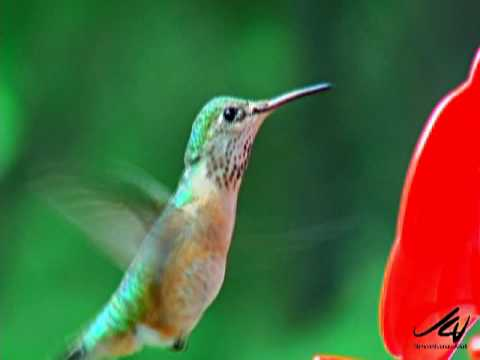 Amazing Hummingbirds of Canada