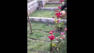 Trại Chó Giống Bùi Kiên- Bull Pháp - 2 Con Lợn Con