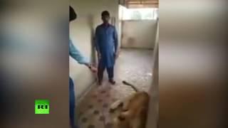 Владелец льва в Пакистане неудачно поиграл с животным