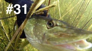 Типичная для этого озера подводная охота. Небольшая щучка . линь, карась. Был один досадный сход неплохой щуки. Трудно было к ней подлезть с правильного угла.Spearfishing, Zemūdens Medības, Varustusehttp://youtu.be/tgiiz1iBNKw