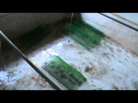 Beruas prawn farming 1.MPG