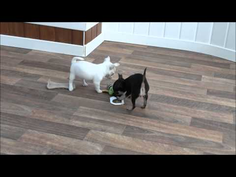 Chihuahua Puppies 27th August 2014