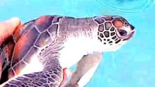 Gemia Island Malaysia  city pictures gallery : Turtle Pool Gemia Island Terengganu Pulau Malaysia