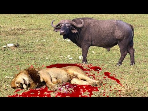 NEW VIDEO LION vs BUFFALO REAL FIGHTS BUFFALO ATTACK LION #1