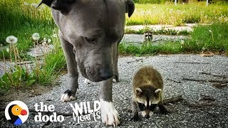 Adorable Baby Raccoons Are Learning To Be Wild Again  | The Dodo Wild Hearts by The Dodo