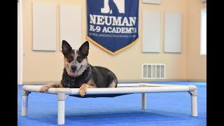 Rayleigh (Australian Cattle Dog) graduated from the dog training boot camp at Neuman K-9 Academy. This program included obedience commands to sit, stay, heel or walk on a loose leash, come when called, proper etiquette, no jumping up, meeting and greeting people under control, and running on a treadmill.Our dog training camp provides programs for the Australian Cattle Dog such as boot camp, obedience training, and puppy camp.Neuman K-9 Academy is a professional canine training school that provides board and train (inboard) for dogs, and fully trained dogs for sale.For more information visit: www.mndogtraining.comLocated in Hugo Minnesota just north of Minneapolis and St. Paul (MN).