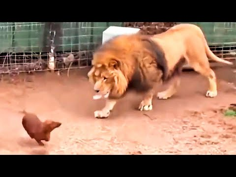 Wpuścili Psa do klatki z Lwem. To co się stało zaskoczyło wszystkich