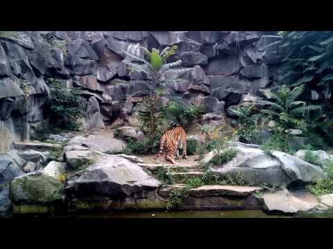 Sibirischer Tiger - Tierpark Berlin - September 2017 - Teil 2