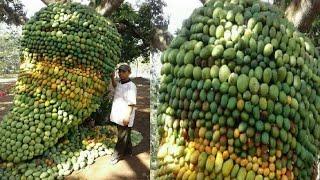 How To Harvest Mango ? - Mango Harvesting & Farming