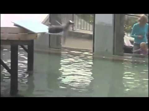 Osäker pingvin snubblar ner i vattnet