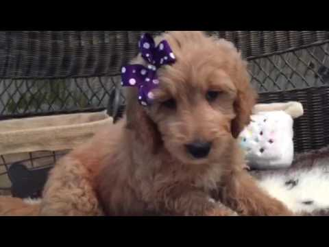 Too cute for words, St. Goldendoodle 1st gen puppy