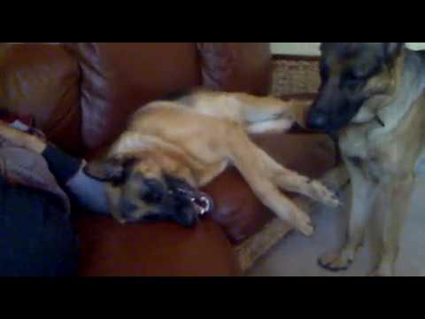 killer dogs
