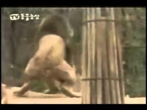 tigre vs leon batalla - SE TRATA DE LEONES GAYS QUE SE PELEAN POR UNA BARRA DE CHOCOLATE.