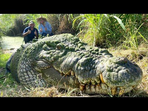 FEEDING HUGE HUNGRY GIGANTIC GNARLY CROCODILES with MATT WRIGHT!