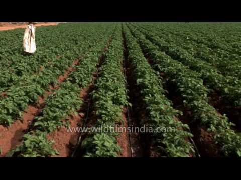 High tech Potato farm in Karnataka: pumped with pesticide and irrigation