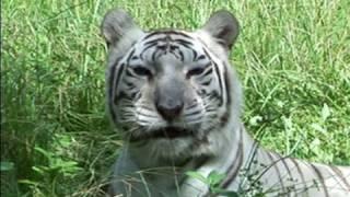 Тигры и кошачья мята