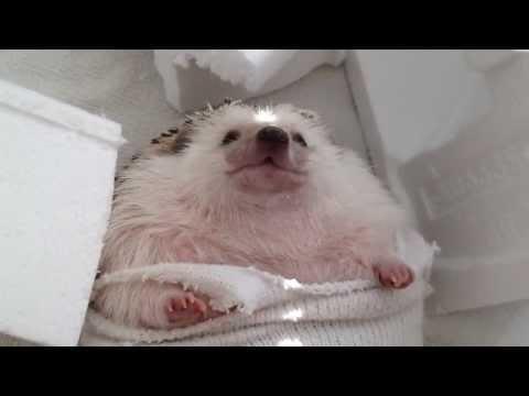 """""""Wrecking Ball""""--Hedgehog Parody"""