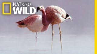 These Animals Survive Extreme Heat | Wild Chile by Nat Geo WILD