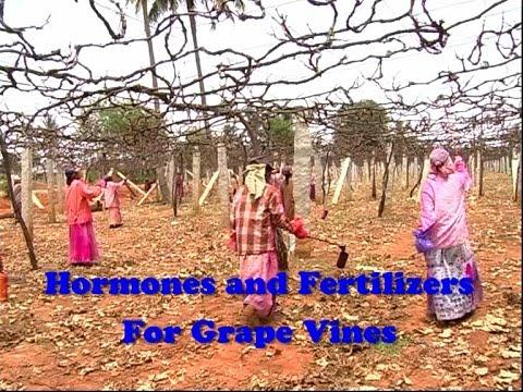 Hormones & Fertilizers for Grape Vines