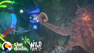 Guy Offers Hand to a Giant Octopus — You Won't Believe How He Reacts | The Dodo Wild Hearts by The Dodo