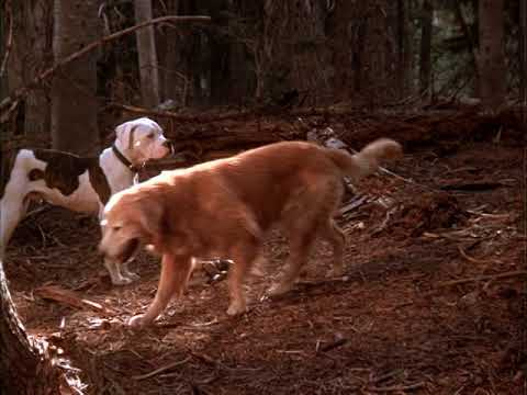 Homeward Bound: The Incredible Journey (1993)- In the wild