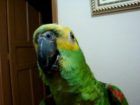 Papagaio bico-sujo!