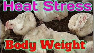 Poultry weight gainer in summer