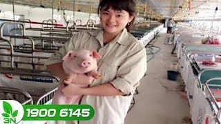 Chăn nuôi lợn | Khắc phục lợn bị viêm chỗ thiến