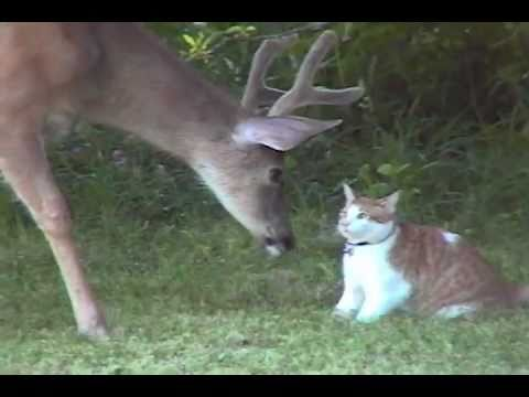 Video Snuggles the Cat Meets Deer download in MP3, 3GP, MP4, WEBM, AVI, FLV January 2017