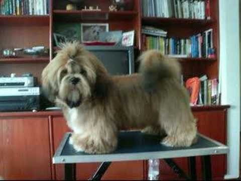 apso lhasa dog. Lhasa Apso Zion