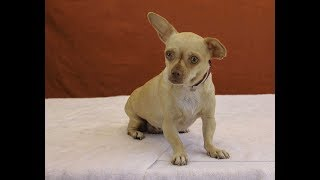 A5089206 Helga is an angelic 5-year-old butterscotch-with-white female Chihuahua who arrived at the Baldwin Park Animal Care Center on July 13th as a stray from Baldwin Park. Weighing 8 lbs, Helga is a precious golden-eyed Applehead Chihuahua with a lovely coat and charming face who likes being held. She also enjoys walking on leash, which she does well. Helga is sharing her kennel with many other girls, and she's getting along nicely with them—she seems to enjoy canine company and human company a lot. She also seems to like being cuddled and carried, along with other forms of human attention. Graceful (she even pants in a ladylike manner!) and pretty Helga will be a delightful indoor pet and companion, eager to explore the neighborhood with you and make fast friends with anyone she meets.  For more information on this pet, contact volunteer UHA adoption coordinator Sandra at 323-350-7207 or sandraburkhardt07@yahoo.com.United Hope for Animals is not a facility. To CHECK THE STATUS of this animal, contact the BALDWIN PARK SHELTER in person, by phone or on their website:Address: 4275 Elton St, Baldwin Park, CA 91706Phone: (626) 962-3577Website: http://1.usa.gov/1oB6G0pIf you end up adopting this animal, please give a shout out to #unitedhopeforanimals @UnitedHope on social media,  leave a comment here as a thank you to our Volunteers, or donate to UHA at http://unitedhope4animals/donate. Thank you for looking! Please SHARE this animal if you are unable to adopt. United Hope for Animals links:ADOPTABLE PETS: http://goo.gl/gY1ReUFACEBOOK: https://www.facebook.com/UnitedHopeTWITTER: https://twitter.com/UHope4AnimalsINSTAGRAM: http://instagram.com/unitedhopeforanimalsWEBSITE: http://unitedhope4animals.orgOur Mission:United Hope for Animals is dedicated to reducing homelessness among companion animals through spay/neuter, shelter support, photography, video and networking of shelter animals in Southern California. It is an all-volunteer, non-profit organization working to 
