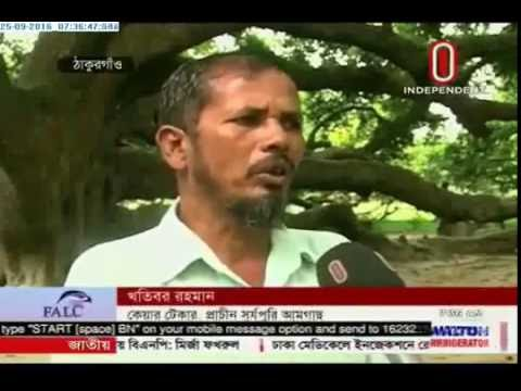 Old mango tree in negligence (25-09-2016)