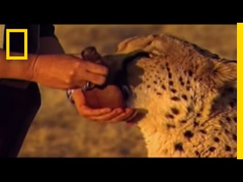 Cheetahs - Dogs are used to protect sheep and other livestock from the cheetahs in Africa - thereby saving the big cats from potential shootings by aggrieved farmers.