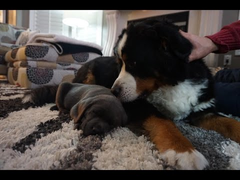LAB PUPPY MEETS BERNESE MOUNTAIN DOG! (#5)
