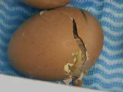 chick - Chick hatching.