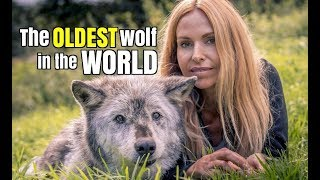 Video THE OLDEST WOLF IN THE WORLD MP3, 3GP, MP4, WEBM, AVI, FLV November 2017