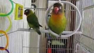Nonton Love Birds Singing Film Subtitle Indonesia Streaming Movie Download