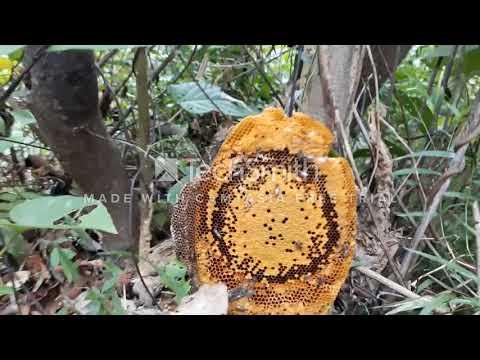 Tâp1: Đi Bắt Ong Rừng - Thời lượng: 9 phút, 14 giây.