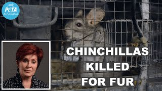 Chinchilla Australia  City new picture : Sharon Osbourne Speaks Up for Chinchillas Used for Fur