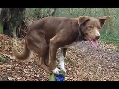 Asombroso Perro acróbata sobre poste