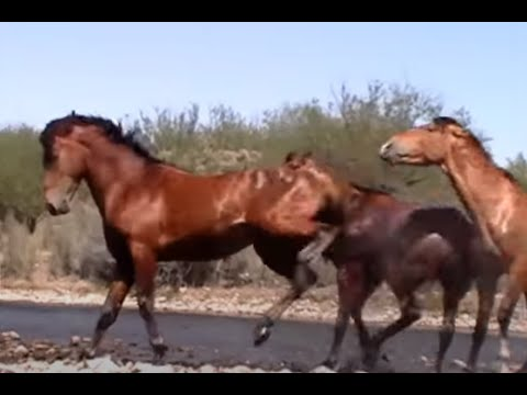 Wild Horse Action at the Salt River