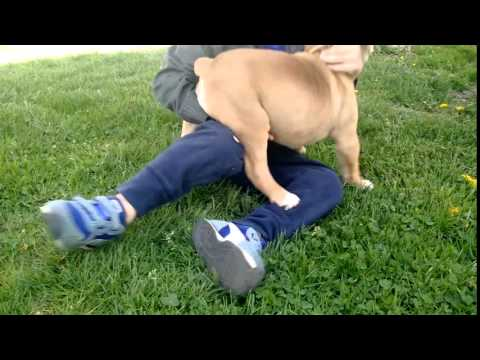 Adorable 78th English Bulldog puppy - Bella