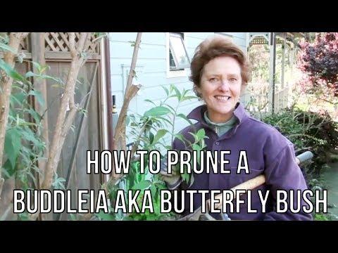 How To Prune A Buddleia aka Butterfly Bush