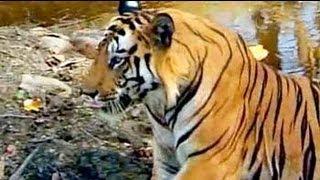 Bandhavgarh India  city photo : Safari India: Tigers of Bandhavgarh National Park (Aired: Oct 2004)